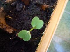 cotiledones rúcula