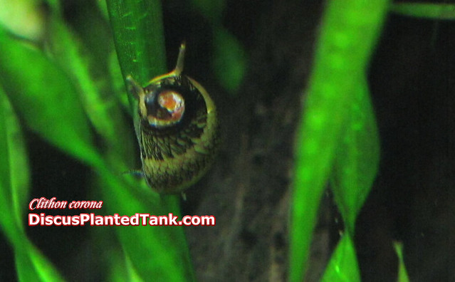 Horned nerite snail Horned nerite snail crawling down echi ...