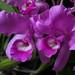 Guarianthe skinneri (Cattleya skinneri)