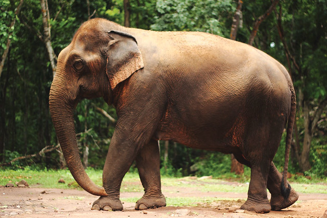 Elephant in Laos by flickr user Rossi Remy