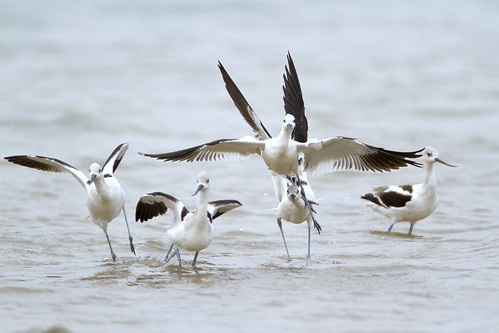 avocet ballet - explored@ #216