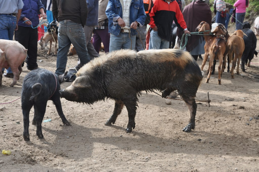 Big Piggy at Otavalo Animal Market