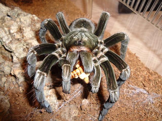 chicken spider ? :0)   Flickr - Photo Sharing!  chicken spider ...