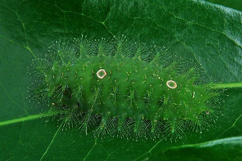 "Stinging Nettle Slug Caterpillar (Cania sp., Limacodidae) ""Doormat"""