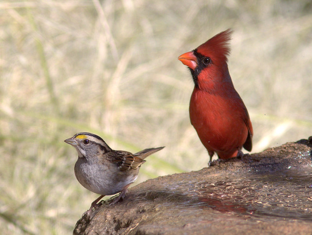 White-throat and cardinal 20111112