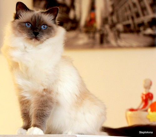 Birman beauty