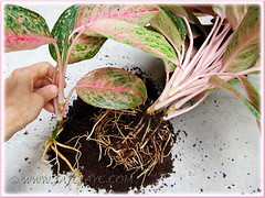 Aglaonema cv. Legacy or 'Miss Thailand' (Thai Aglaonema)- propagating by division, Oct 15 2011