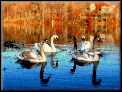 swans abigfave