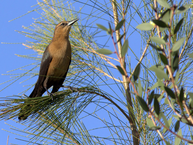 Boat-tailed Grackle female 20111122