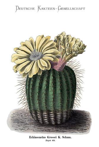020-Bluhende Kakteen (Iconographia Cactacearum)-Tomo 2-1904-1921- Karl Moritz Schumann y otros-cortesía de www.cactuspro.com