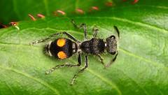 Hymenoptera of Ecuador, old