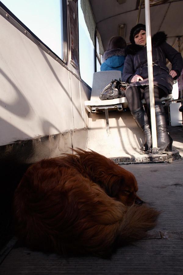Собака в троллейбусе