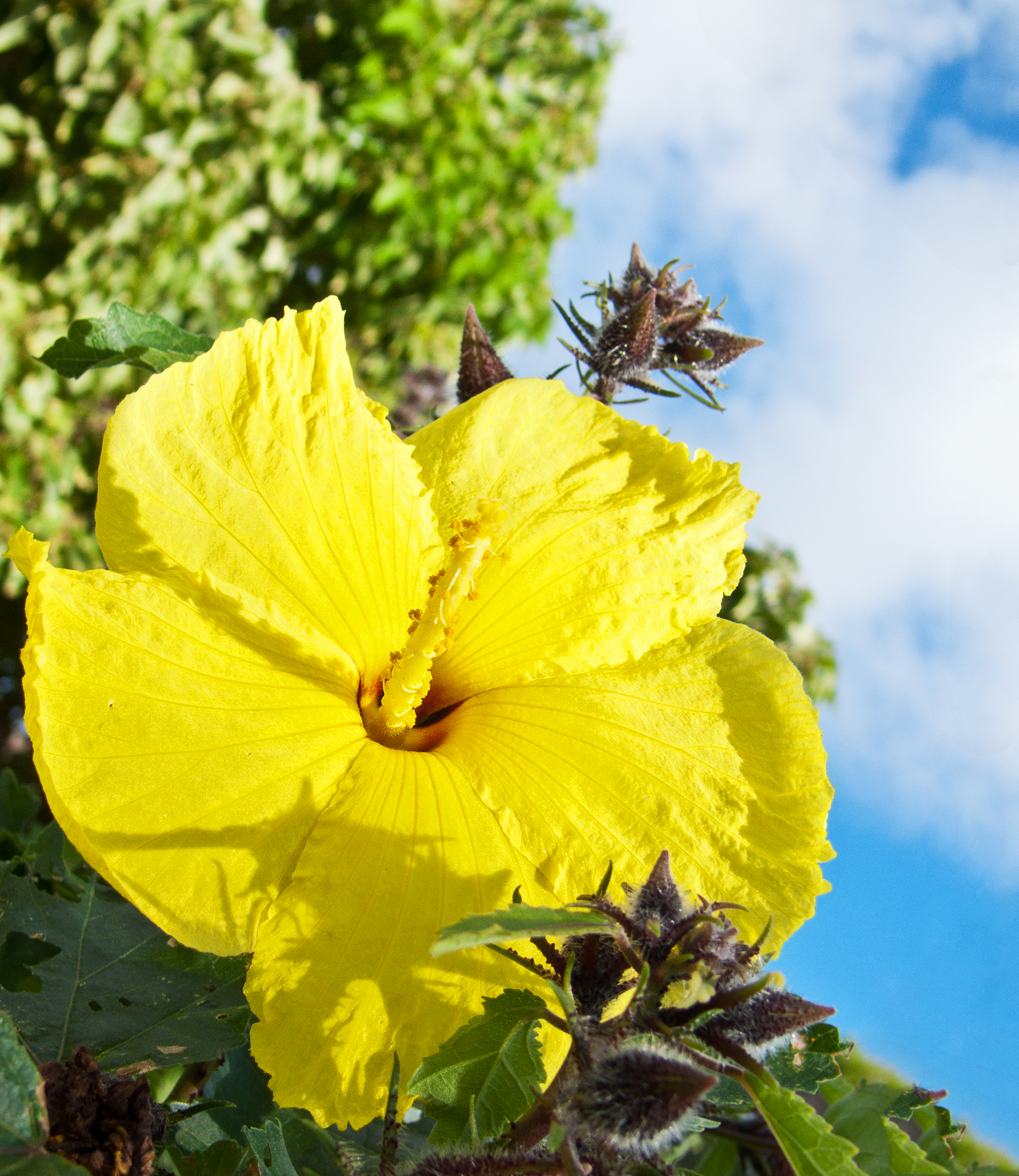 "The State Flower of Hawaii Ma o hau hele ""Hibiscus…"