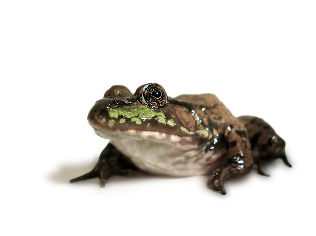 Green Frog (Rana clamitans)