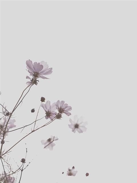 cosmos ~ 秋の桜