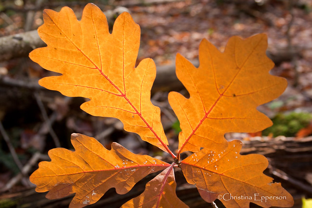 White oak fall colors flickr photo sharing