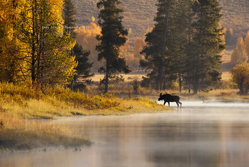 Bull moose crossing the river