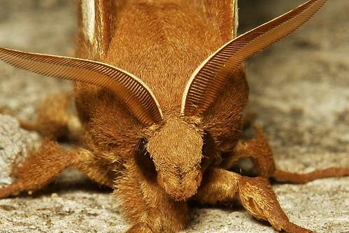 Snout Moth (Hoenimnema yunnanensis, Lasiocampidae)