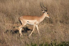 Impala, Legends Game Reserve, Limpopo, South Africa