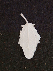 One White Leaf