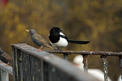 animal, fauna, finch, beak, eurasian magpie, bird,