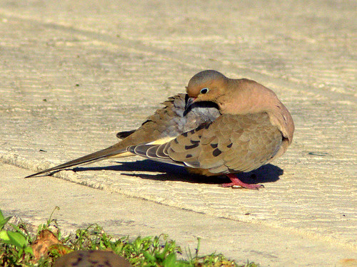 Mourning Dove preening 20111105