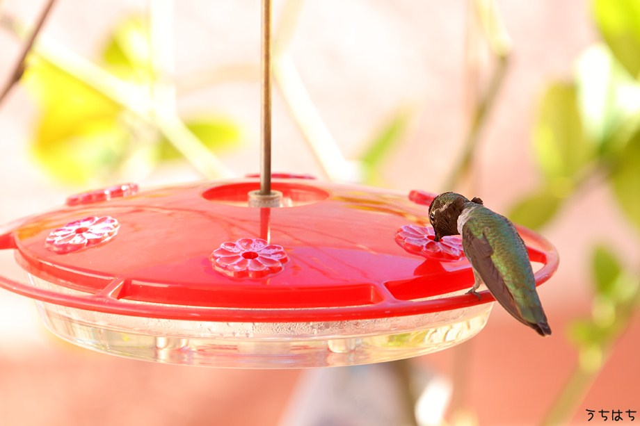 Anna's Hummingbird 112211-3