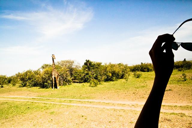 Giraffes (7)