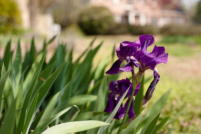 Spring2012 Iris