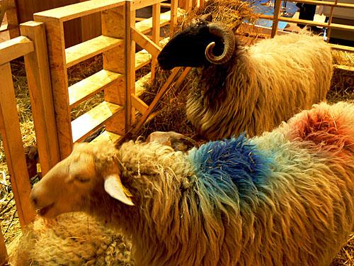 sia 31 ovins en fête.jpg