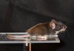 animal, rat, rodent, pet, mouse, fauna, muroidea, whiskers, pest,