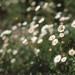 Analog daisies by Rubo Stars & Lore Stars