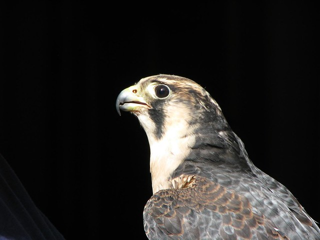 Taiga the Peregrine Falcon