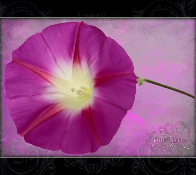 The Metaphysical Morning Glory