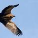 Griffon Vulture (Gyps fulvus) (Explored)