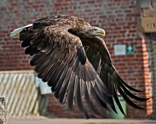 Kyla .....  the female White Tailed Eagle. (Haliaeetus albicilla)