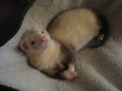 polecat(0.0), animal(1.0), weasel(1.0), pet(1.0), mustelidae(1.0), mammal(1.0), mink(1.0), ferret(1.0),