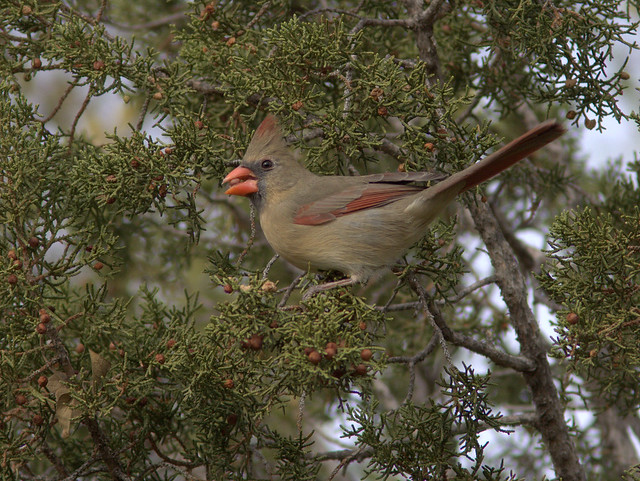 Northern Cardinal female  2-20111112
