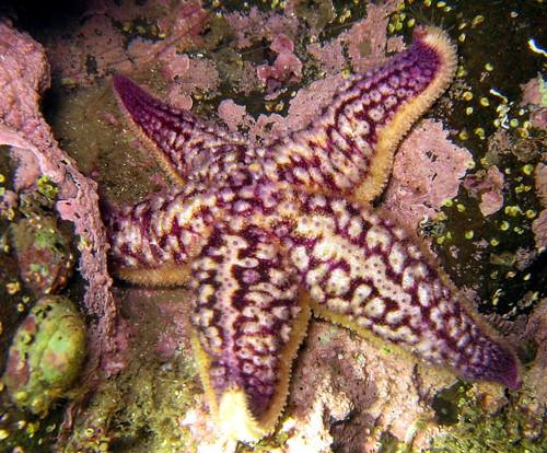 Evil starfish