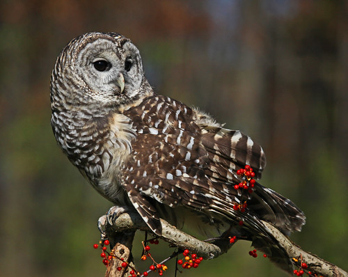 Barred Owl on Bittersweet by JKissnHug