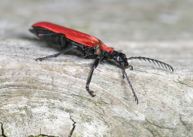 Cardinal beetle - Pyrochroa coccinea 5