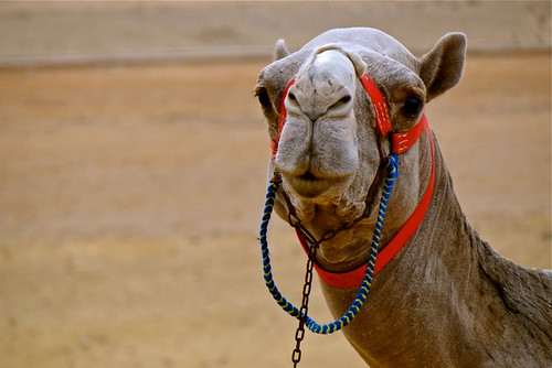 Camel, Cairo, Egypt