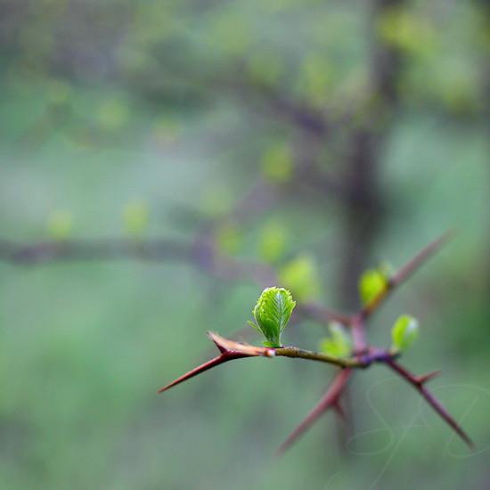 thorny tree 1