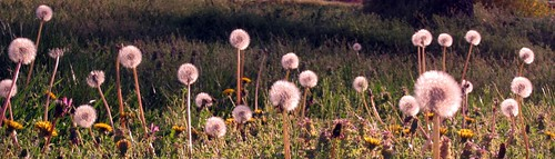 panoramic dandelions