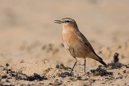Wheatear at Viking Bay