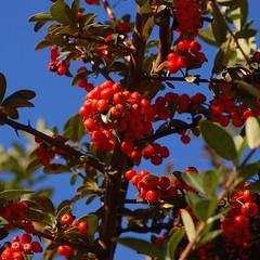 shrub(0.0), flower(0.0), strawberry tree(0.0), plant(0.0), produce(0.0), food(0.0), autumn(0.0), evergreen(1.0), berry(1.0), branch(1.0), leaf(1.0), tree(1.0), red(1.0), flora(1.0), fruit(1.0), rowan(1.0),