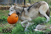 Wolf steals a pumpkin