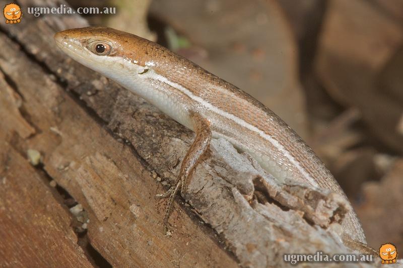 Lively skink (Carlia vivax)