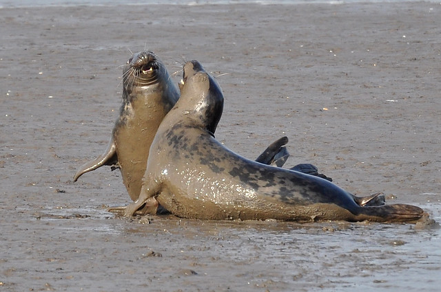 Mud Wrestling Grey Seals