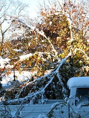sugar maple in truck bed: Snowstorm of October 2011, New Jersey